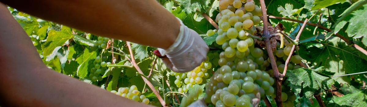 vino beneventano